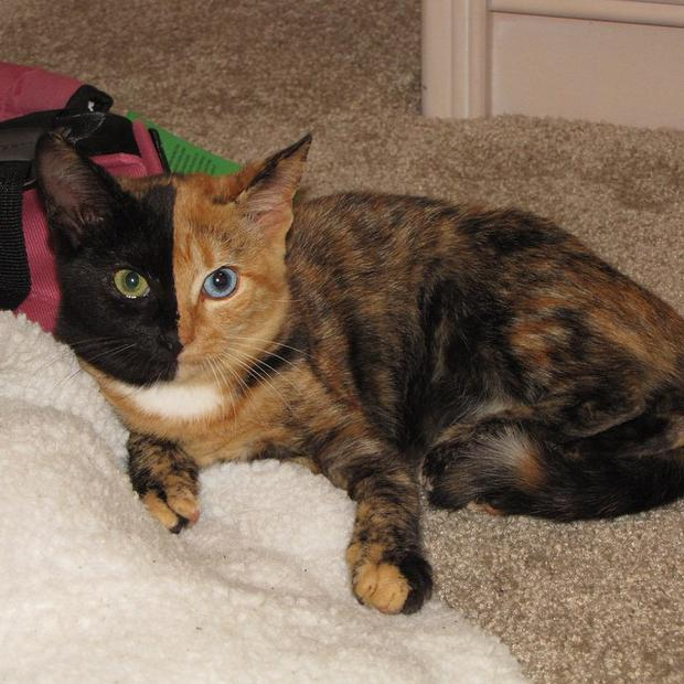 Venus the black and orange cat becomes an Internet star due to her     Independent Venus the      two face cat      Facebook
