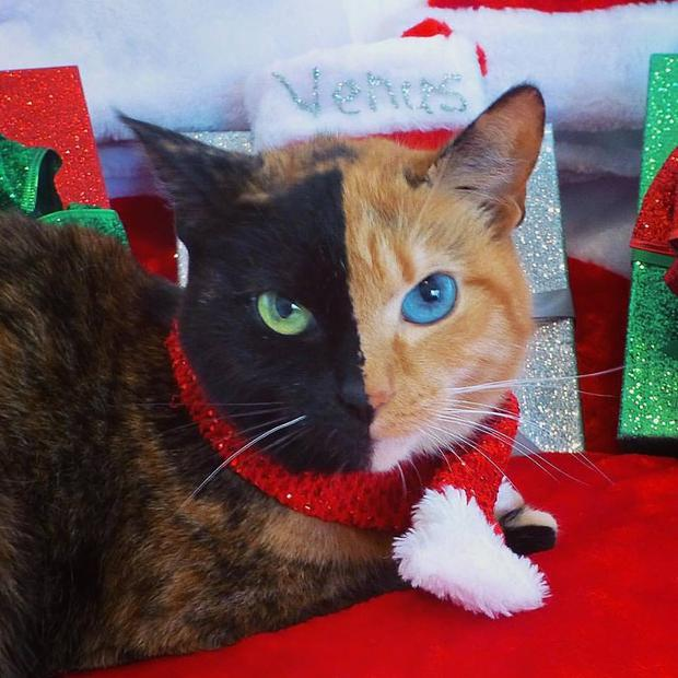 Venus the 'two-face cat' gets ready for Christmas. Facebook