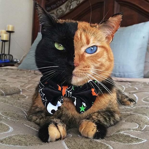 Venus the two-face cat makes a Halloween fashion statement. Facebook