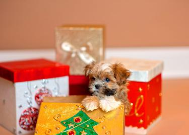 The Top 10 pups Irish people buy at Christmas - Independent ie