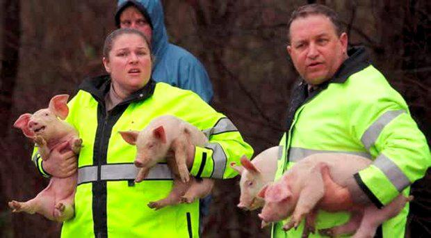 Rescue teams look after the piglets