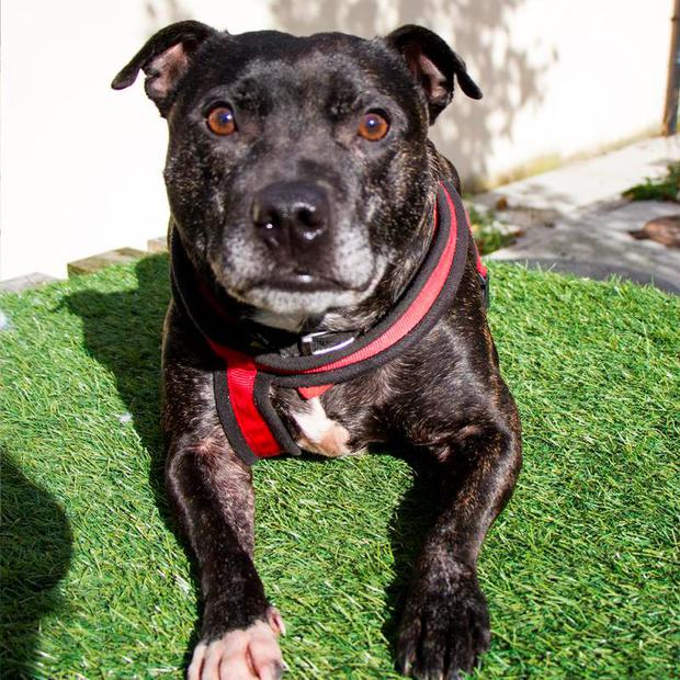 Archie, a Staffordshire Bull Terrier Credit: Dog's Trust Ireland