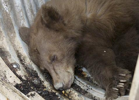 A black bear sits in the back of a transport trailer after it was tranquilized by wildlife biologists at the Orange Avenue Disposal in Fresno, Calif