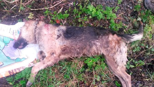 The 2-year-old German Shepherd was found on Wednesday morning Credit: ISPCA