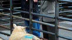 Eyeing up the stock at the first sale in New Ross Mart were Darren Flynn and Pat Flynn. Photo: Roger Jones.