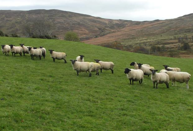The American market may open to Irish sheep soon.