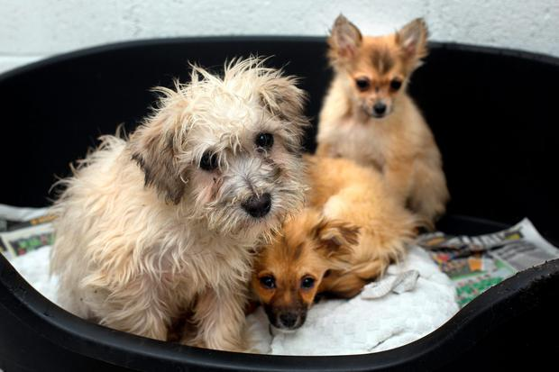 Some of the 18 pups seized at Dublin Port by customs and the Department of Agriculture at the DSPCA Rescue Centre in Rathfarnham. These pups are not yet available fro adoption. Photo: Tony Gavin 12/1/2016