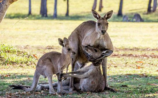 Evan Switzer photographed the moment grieving kangaroo cradles the head of a dead female kangaroo next to her joey Photo: Evan Switzer Photography