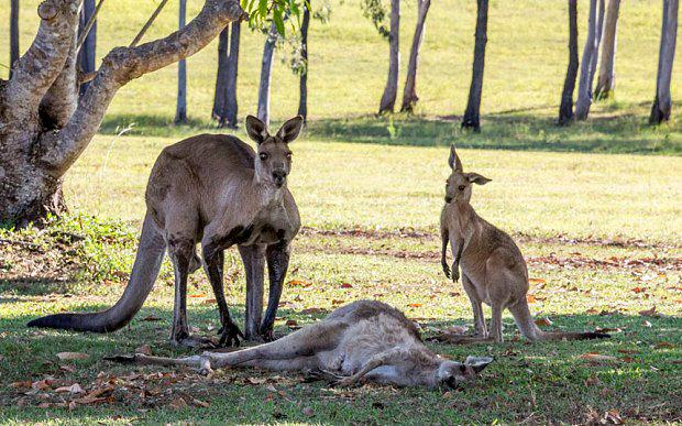 The mother kangaroo lies on the ground, while her joey and a male companion look on Photo: Evan Switzer Photography.