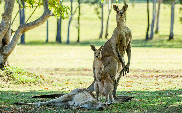 After the female kangaroo died, her male companion guarded the corpse Photo: Evan Switzer Photography