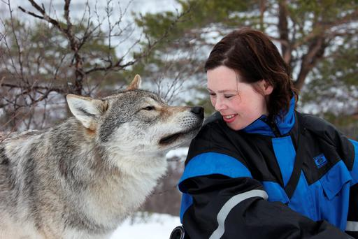 A wolf kiss. Photo: Roger Johanson/nordnorge.com