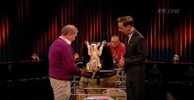A lamb tests out TJ Gormley's new tagging system on RTE's Late Late Show