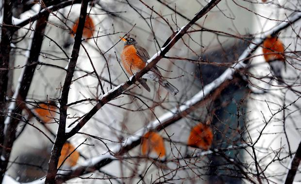 Robins roost in a tree during a winter storm in Washington. Reuters/Joshua Roberts
