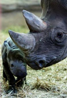 Trafficking: Rhino horns were being sold illegally Photo: Dave Thompson/PA Wire