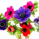 SPECIAL PLACE: The 'florist's anemone' — which flowers all year round — has been used as a cut flower for centuries
