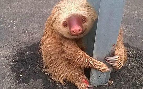 The sloth was photographed clinging to a crash barrier in Ecuador Photo: Comisión de Tránsito del Ecuador