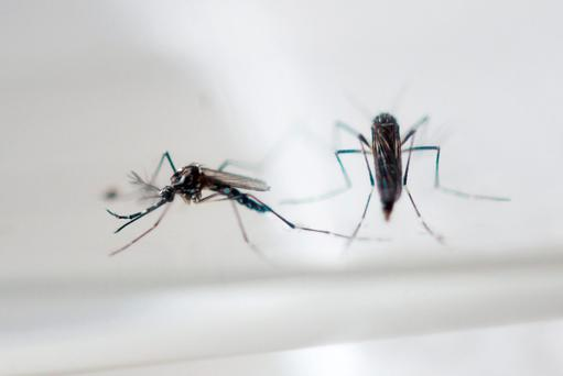 The Zika virus believed to cause microcephaly is transmitted by the Aedes aegypti species of mosquito. Getty Images