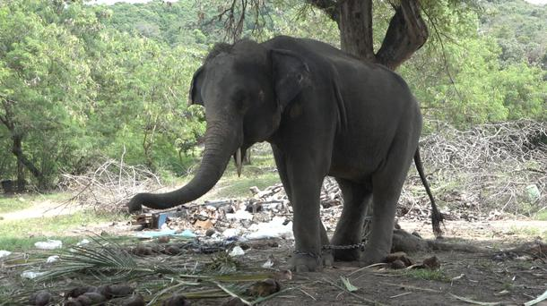 Elephant dubbed Rambo but also called by his nickname Golf is chained to a tree on the resort island of Samui, Surat Thani Province, Thailand. A Scottish tourist has been gored to death by the elephant that he and his 16-year-old stepdaughter were riding on the island, Thai authorities said Tuesday. Police Lt. Rotjanart Kiewjan said the animal threw Gareth Crowe and Eilidh Hughes to the ground during a trek on Monday. The elephant then gored Crowe with his tusk and stomped on him. (AP Photo)