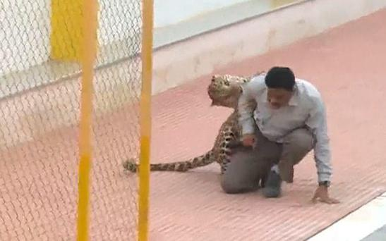 The leopard mauled a number of people during the chaotic mission to capture it