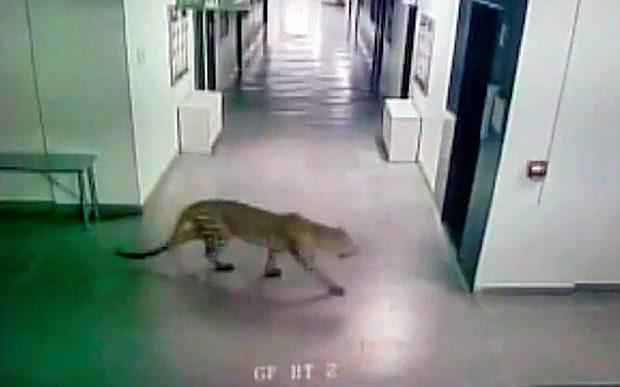 The leopard was first spotted strolling around the empty corridors of the Vibgyor International School