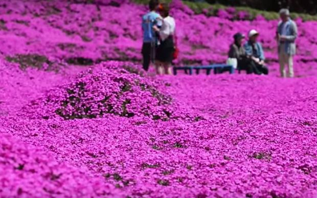 A field of cherry blossoms, planted by a husband to please his blind wife, has become a major tourist attraction in Japan. Photo/Youtube