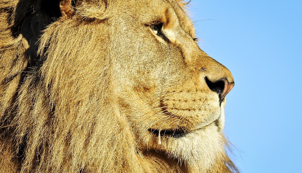 Wildlife rangers do not know how the lions got out of the park.