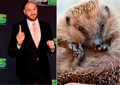 Tyson Fury says he eats hedgehogs marinated in honey