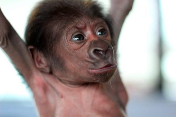 The baby, which is yet to be named, was born at Bristol Zoo Gardens weighing just over a kilo (2lbs 10oz). Photo: Bristol Zoo Gardens/PA Wire