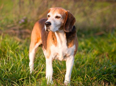 A foxhound, like the one pictured, was deliberately knocked down by police