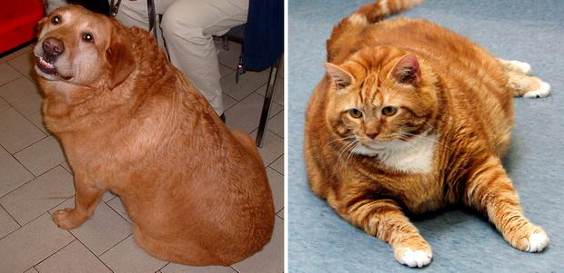Some 50 pc of family dogs and cats are over-weight, warned the VICAS