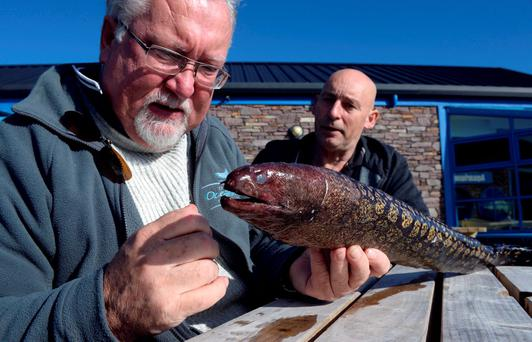 Marine biologist Kevin Flannery and local man Les Evans with a moray eel, which was recently found washed up in Cahersiveen, Co Kerry. Photo: Don MacMonagle