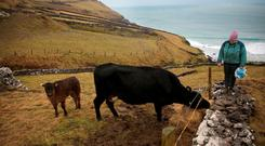 Niamh Ferriter, Coomenoole, Dingle Peninsula, Co Kerry, feeding one of her Limousin cows and bull calf. Niamh is getting ready for lambing in the next two weeks with over 120 ewes to lamb. Photo: Valerie O'Sullivan.