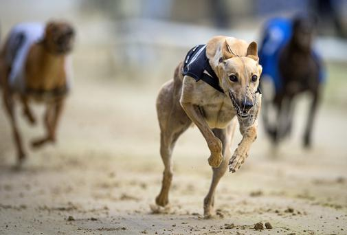 Larry Dunne's Slippery Fred (10.12) is in the form of his life and a trap-one draw should clear the way for a fourth win on the trot with Peregrine Falcon his likely main danger (Stock photo)