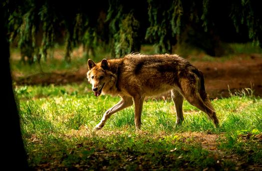 A wolf walks in the forest of the Bourbansais zoo in Pleugueneuc, northwestern France Photo: AFP/Getty