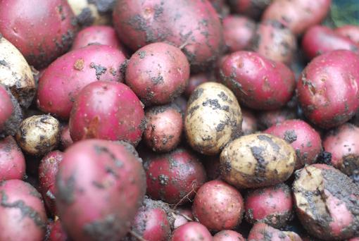 Store potatoes somewhere dark, cool and dry, and not in the fridge. Photo: Getty Images.