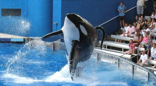 Tilikum, a killer whale at SeaWorld amusement park, performs during a show in Orlando, in this September 3, 2009 file photo. Tilikum dragged a SeaWorld trainer underwater to her death during a 2010 show in Florida and is in deteriorating condition due to significant health issues, the company said on Tuesday