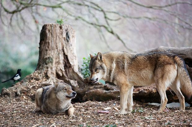 Dublin Zoo welcomes eight new wolves. Photo: Patrick Bolger.