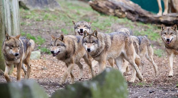 Dublin Zoo's new wolves get settled in to their new environment. Photo: Patrick Bolger.