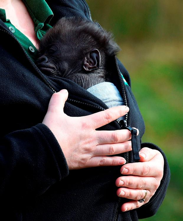 Bristol Zoo's seven-week-old baby gorilla Afia, born by emergency caesarian section, emerges outside for the first time in a sling worn by her keeper Lynsey Bugg, Assistant curator of Mammals Credit: Andrew Matthews/PA Wire