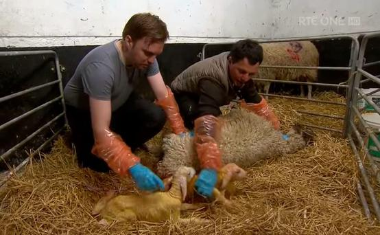 Bernard O'Shea helping farmer John Fagan to deliver lambs on the Late Late Show