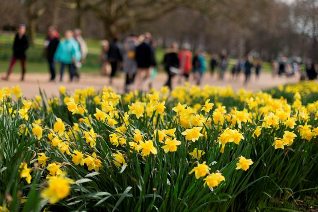 Daffodils in Green Park, London, as forecasters have said that parts of Britain could see temperatures reaching up to 18C this weekend. Photo: Yui Mok/PA Wire