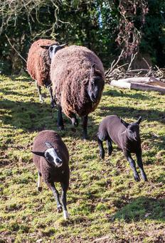 Zwarbles lambs playing on Suzanne Crampton's farm in Bennettsbridge Co Kilkenny. She will be one of the farms featured on RTE's Big Week on the Farm on Friday. Photo: Pat Moore.