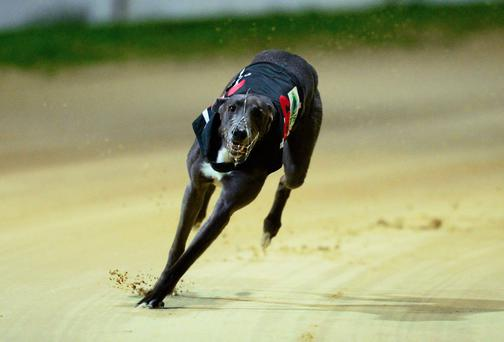 The fourth annual Con & Annie Kirby Memorial Puppy Stake will reach a conclusion at Limerick this evening and there could be huge scenes of celebration if Clares Rocket justifies local confidence by winning the €80,000 first prize. (Photo: Sportsfile)