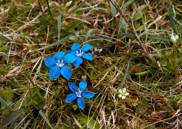 Treasure trove: This month is a great time to spot the spring gentian, found in The Burren