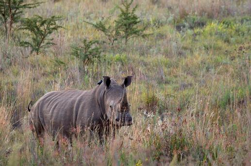 A White Rhino walks through scrub in the dusk light in Pilanesberg National Park in South Africa's North West Province REUTERS/Mike Hutchings/Files