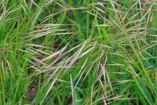Sterile brome lurks unnoticed in many hedges, dikes and ditches all over the country. Once given a fighting chance it will spread like wildfire.