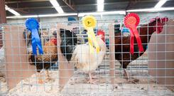 Prize winners at the recent Raphoe Livestock Mart, Co Donegal. Photo: Clive Wasson.
