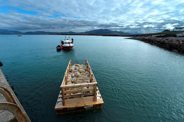 A sheep farmer takes his sheep on a raft out to the Maherees Islands in west Kerry to spend the summer, where there is good grazing. Photo: Domnick Walsh