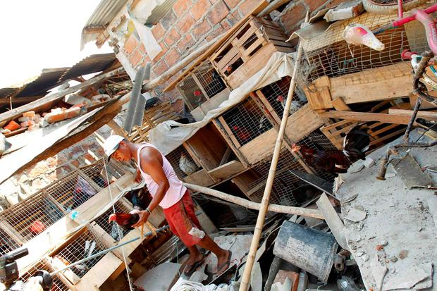 Antonio Chica, 33, recovers his roosters from debris at his house in Jama, after an earthquake struck off Ecuador's Pacific coast, April 19, 2016. REUTERS/Guillermo Granja