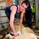 Joe Healy takes part in the Irish International Open Sheep Shearing Championship in 2011. Photo: Alf Harveyrole